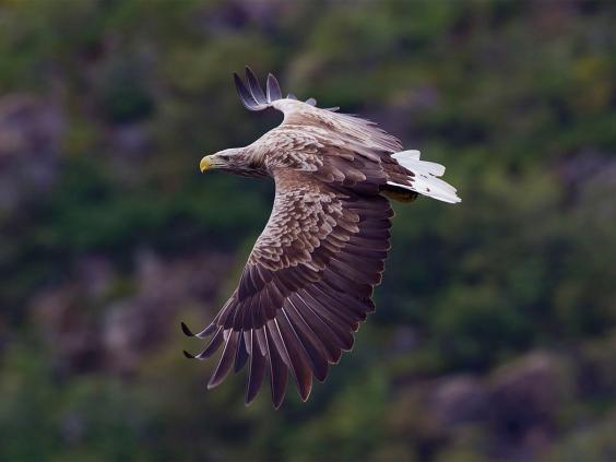 web-white-tail-eagle-cc.jpg