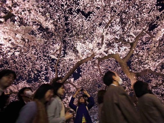 japan_cherry_blossom_reuter.jpg