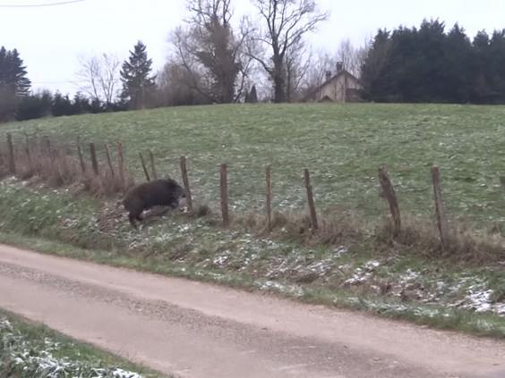 ponies-boar-5.jpg