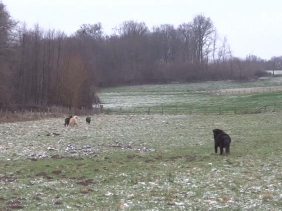 ponies-boar-91.jpg