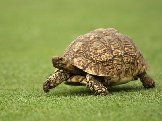 Cleopatra The Injured Tortoise Gets A Custommade Dprinted Shell - Tortoise gets 3d printed shell