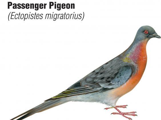 Passenger-pigeon.jpg