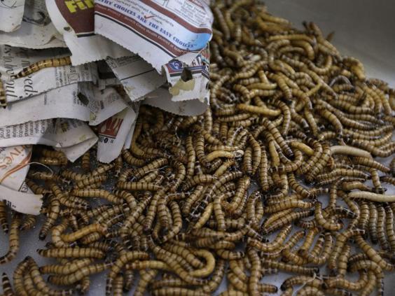 web-meal-worms-AP.jpg