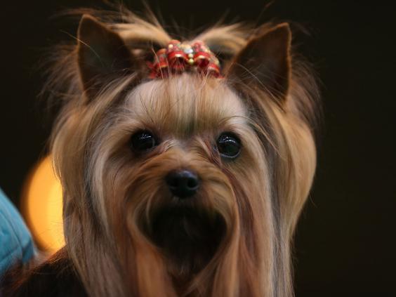 yorkshire-terrier-depp-dogs.jpg