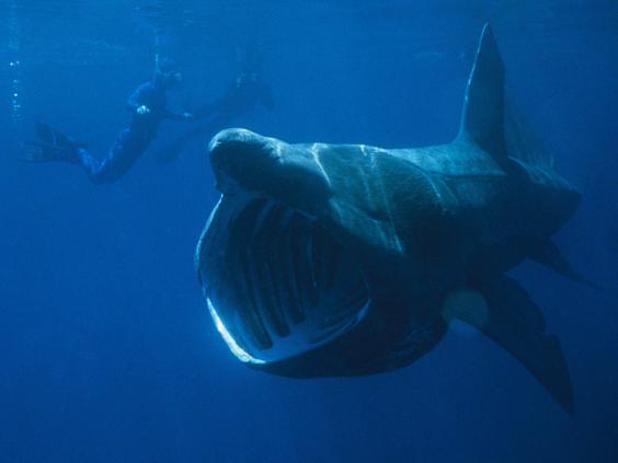 Basking-shark2.jpg