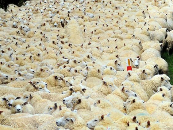 Sheep-in-road-2-Rex.jpg