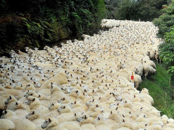 Sheep-in-road-3-Rex.jpg
