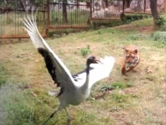 Tiger-attack.jpg