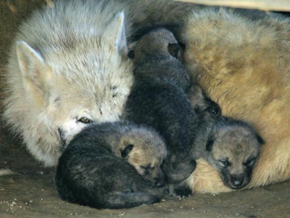 wolf cubs.jpg