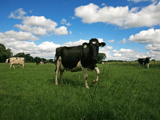 cows-getty.jpg