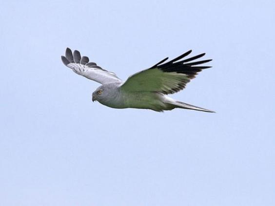 Hen-Harrier-IOW-government.jpg