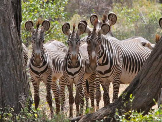 zebras-unwin.jpg