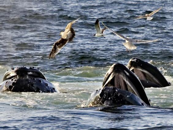 20-Humpback-Whales-AP.jpg