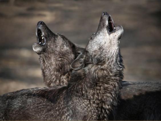 20-Wolves-PA.jpg