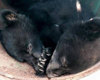 bearcubs_1.JPG