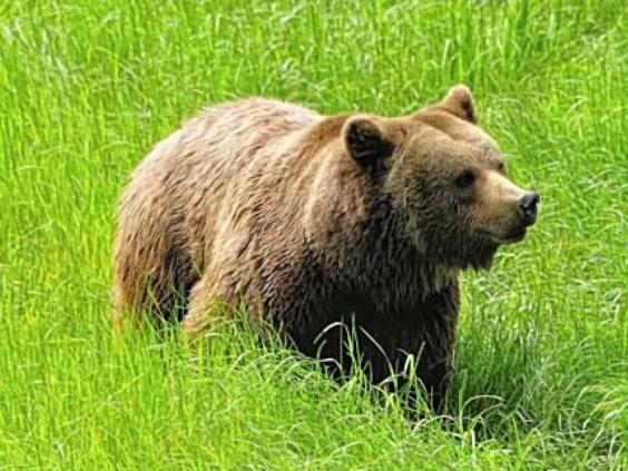 brown-bear-getty.jpg