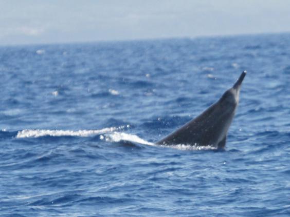 Sowerbys-beaked-whale-Wikipedia.jpg