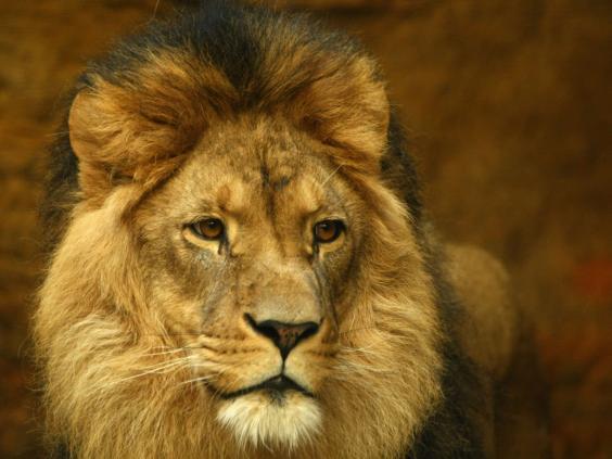 Lion-Getty.jpg