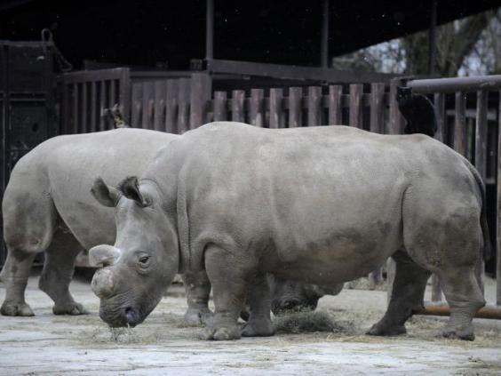 Nabire-northern-white-rhino2.jpg