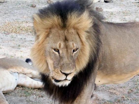 42-Cecil-Lion-AP.jpg