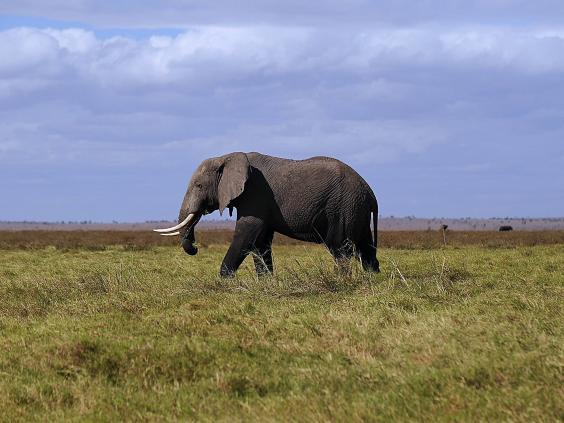 african-elephant-afp-getty.jpg