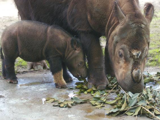 Sumatran-Rhino.jpg