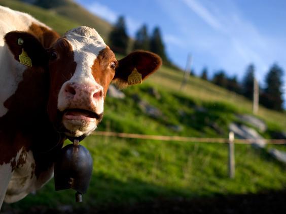 Swiss-cows-Getty-subscription-1.jpg