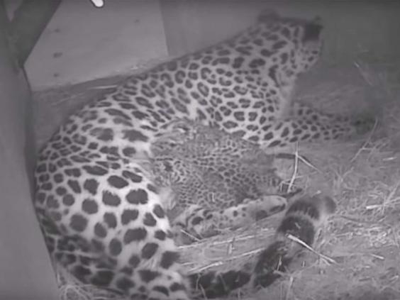 amur-leopard-park.jpg