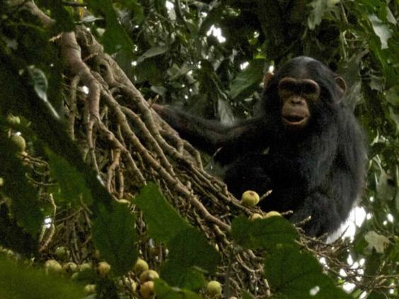 chimp-thomson.jpg