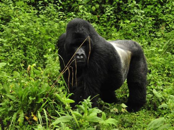 silverback-gorilla-thomson.jpg