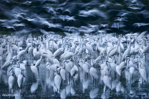26. Zsolt Kudich, Great egret awakening .jpg