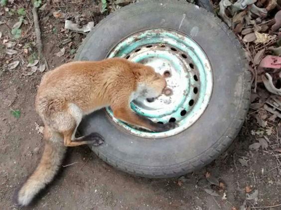 Stuck-fox-2.jpg