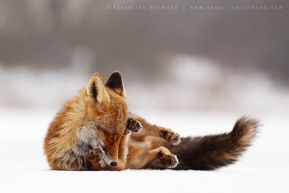 zen-foxes-roeselien-raimond-14__880.jpg