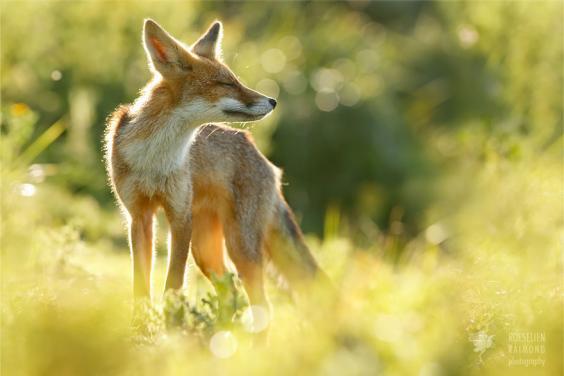 zen-foxes-roeselien-raimond-6__880.jpg
