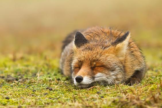 zen-foxes-roeselien-raimond-9__880.jpg