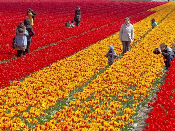 holland-tulips-afp.jpg