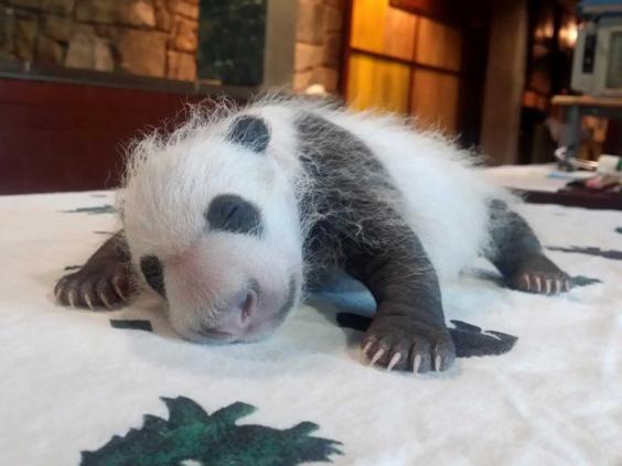 panda1-ap.jpg