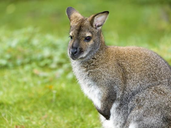 wallaby-getty-subscription.jpg