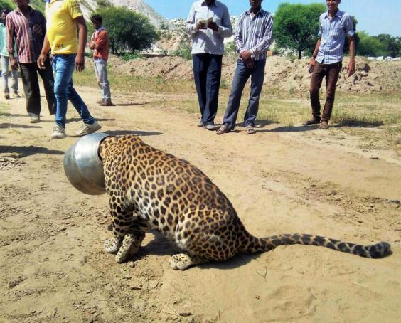 leopardpot2.jpg