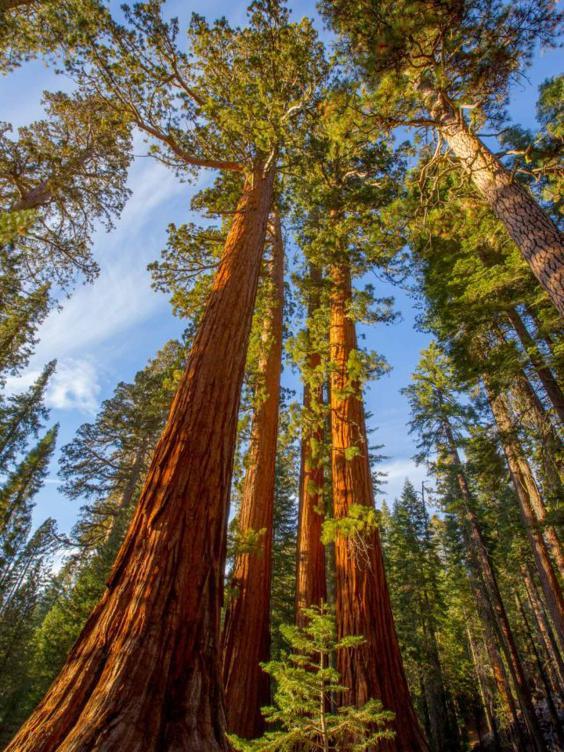 sequoia-getty.jpg