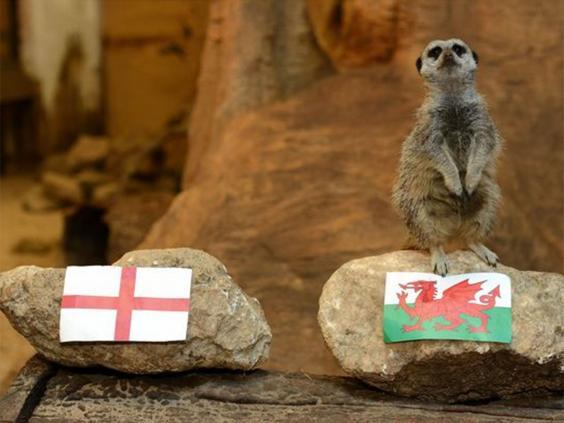 meerkat-wales.jpg