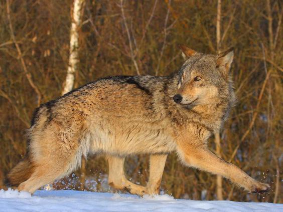 chernobyl-wolf-pa.jpg
