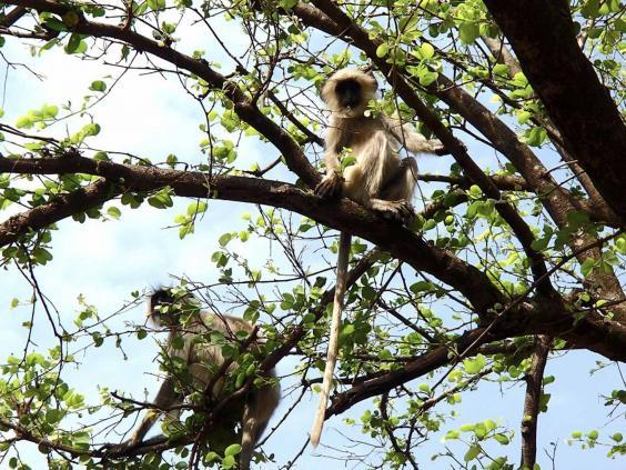india-monkey-grover.jpg