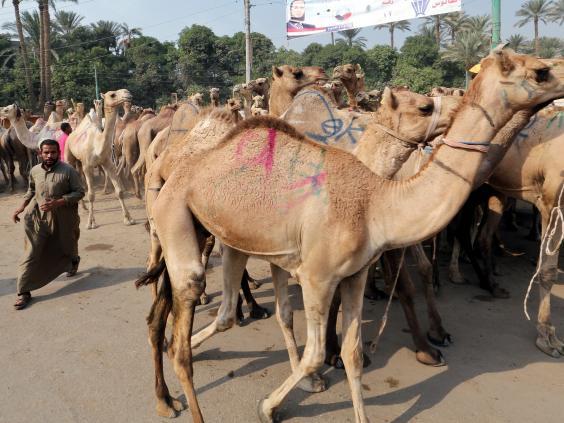 camels-egypt.jpg