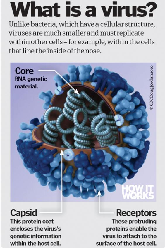 common viral cold The common cold is the most prevalent upper respiratory illness affecting humans and is caused by these walled viruses would become the forerunners of cells - for they avoided the constant violence.