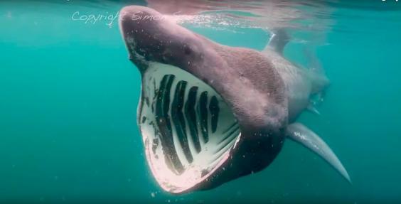 basking-shark.jpg