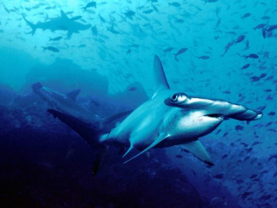 hammerhead-shark.jpg