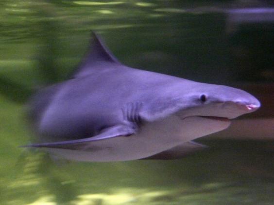 Speartooth-shark.jpg