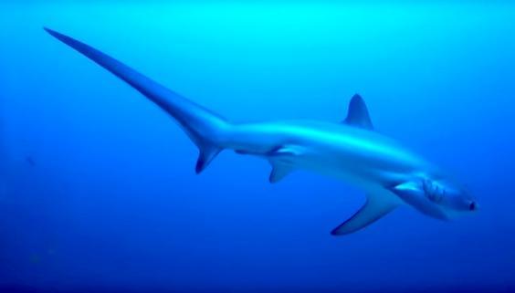 thresher-shark.jpg