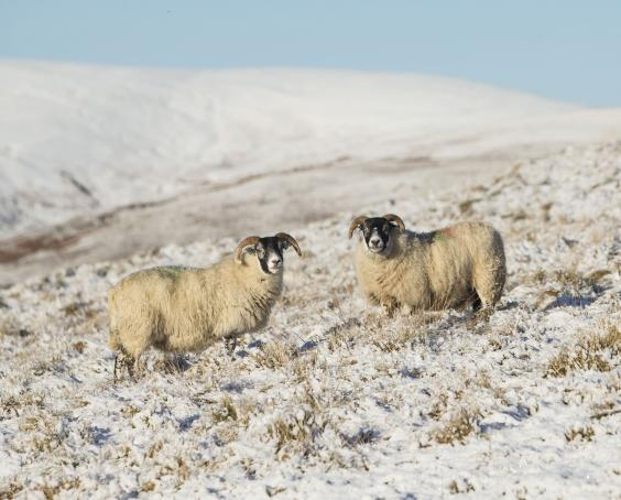 snow-sheep-scotland.jpg